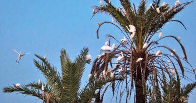 Feuchtgebiet Ses Feixes: Der neue Lieblingsschlafplatz der Kuhreiher auf Ibiza
