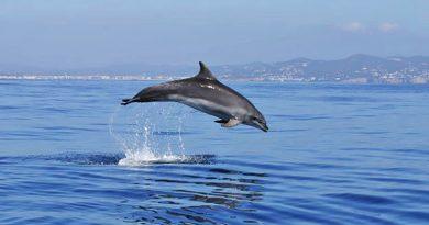 Kaum Schiffe und heilige Winterruhe: Ibizas Delfine jagen im Hafenbecken