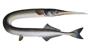 Zwei große Nadelfische im Hafen von Sant Antoni