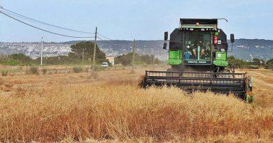 Getreideernte auf Formentera auf Hochtouren – Bauern rechnen dieses Jahr mit etwa 80 Tonnen Ertrag