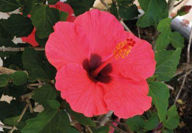 Ibizas knalligste Blume, der Hibiskus, schmeckt besonders gut im Eistee – Reduziert Angst, schützt vor Erkältungen und kurbelt die Durchblutung an